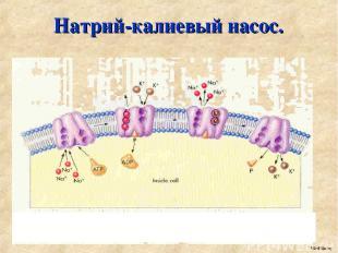 Натрий-калиевый насос. MedBiolog