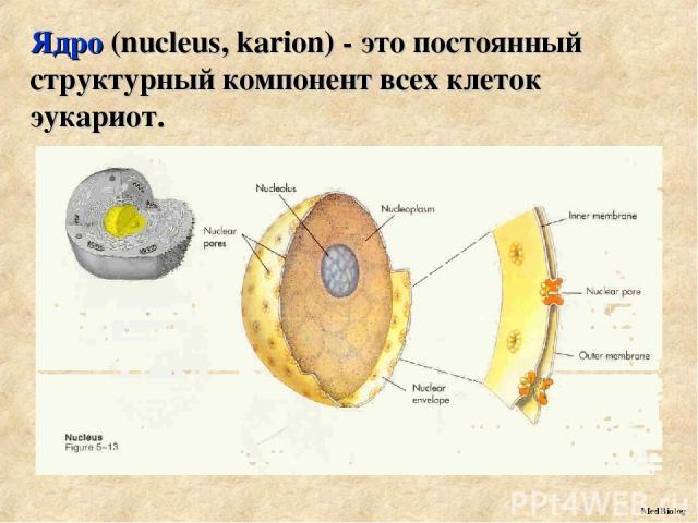 Ядро (nucleus, karion) - это постоянный структурный компонент всех клеток эукариот. MedBiolog