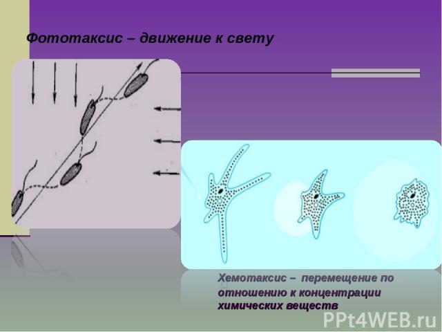 Фототаксис – движение к свету Хемотаксис – перемещение по отношению к концентрации химических веществ