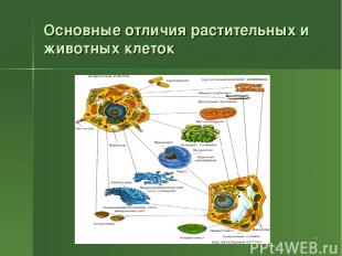 * Основные отличия растительных и животных клеток