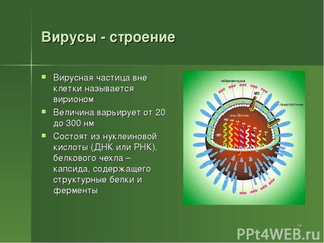 Вирусы - строение Вирусная частица вне клетки называется вирионом Величина варьирует от 20 до 300 нм Состоят из нуклеиновой кислоты (ДНК или РНК), белкового чехла – капсида, содержащего структурные белки и ферменты *
