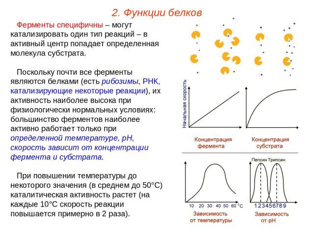 Ферменты специфичны – могут катализировать один тип реакций – в активный центр попадает определенная молекула субстрата. Поскольку почти все ферменты являются белками (есть рибозимы, РНК, катализирующие некоторые реакции), их активность наиболее выс…