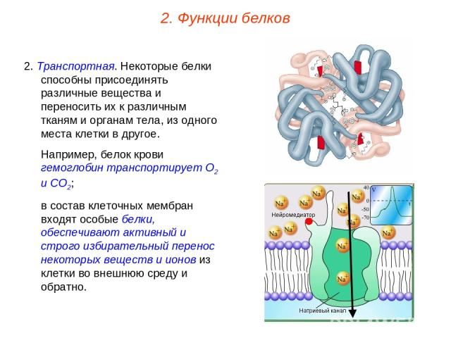2. Транспортная. Некоторые белки способны присоединять различные вещества и переносить их к различным тканям и органам тела, из одного места клетки в другое. Например, белок крови гемоглобин транспортирует О2 и СО2; в состав клеточных мембран входят…