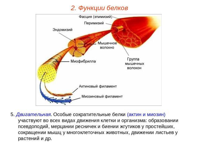 5. Двигательная. Особые сократительные белки (актин и миозин) участвуют во всех видах движения клетки и организма: образовании псевдоподий, мерцании ресничек и биении жгутиков у простейших, сокращении мышц у многоклеточных животных, движении листьев…