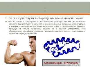 Белки - участвуют в сокращении мышечных волокон. В акте мышечного сокращения и р