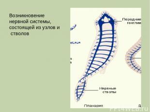 Возникновение нервной системы, состоящей из узлов и стволов