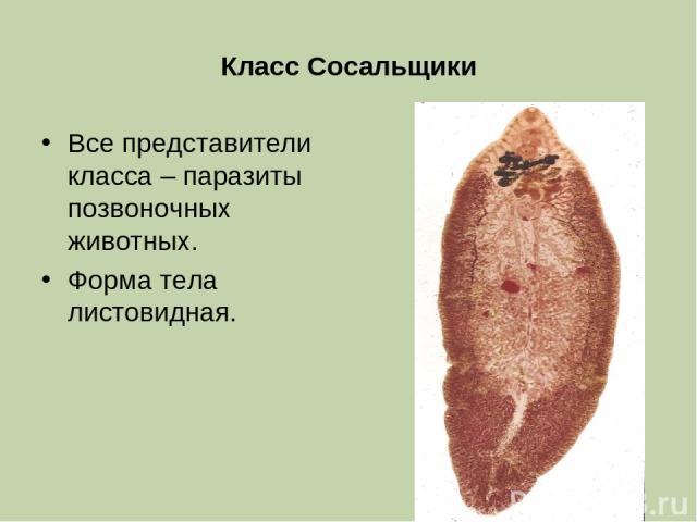 Класс Сосальщики Все представители класса – паразиты позвоночных животных. Форма тела листовидная.