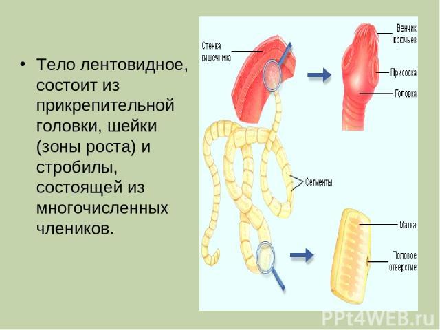 Тело лентовидное, состоит из прикрепительной головки, шейки (зоны роста) и стробилы, состоящей из многочисленных члеников.