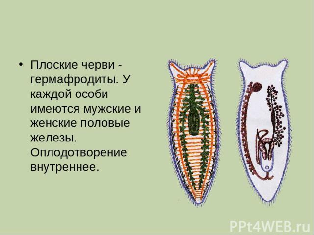 Плоские черви - гермафродиты. У каждой особи имеются мужские и женские половые железы. Оплодотворение внутреннее.