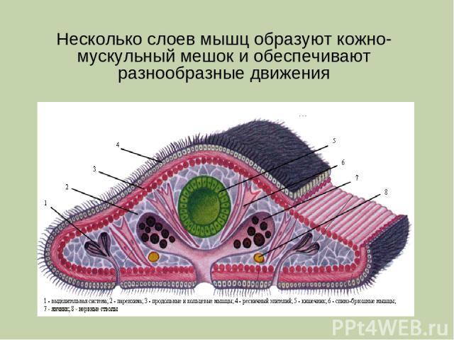 какие мускулы кожно мускульного мешка у корнерота