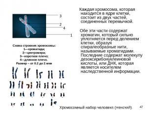 * Каждая хромосома, которая находится в ядре клетки, состоит из двух частей,