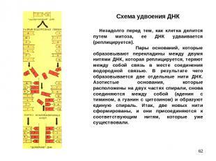* Схема удвоения ДНК Незадолго перед тем, как клетка делится путем митоза, е