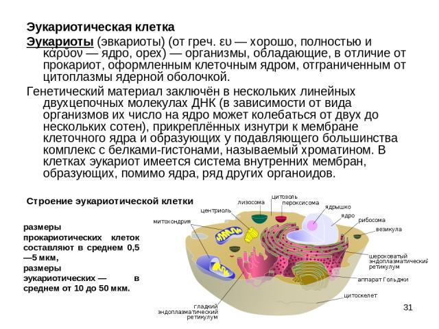 * Эукариотическая клетка Эукариоты (эвкариоты) (от греч. ευ— хорошо, полностью и κάρῠον— ядро, орех)— организмы, обладающие, в отличие от прокариот, оформленным клеточным ядром, отграниченным от цитоплазмы ядерной оболочкой. Генетический материал…