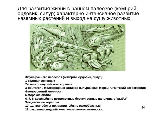 * Для развития жизни в раннем палеозое (кембрий, ордовик, силур) характерно интенсивное развитие наземных растений и выход на сушу животных. Фауна раннего палеозоя (кембрий, ордовик, силур): 1-колония археоцит 2-скелет силурийского коралла 3-оби…