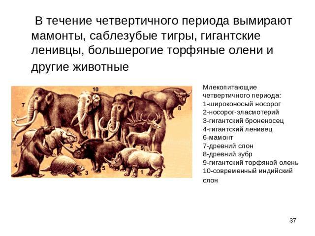 * В течение четвертичного периода вымирают мамонты, саблезубые тигры, гигантские ленивцы, большерогие торфяные олени и другие животные Млекопитающие четвертичного периода: 1-широконосый носорог 2-носорог-эласмотерий 3-гигантский броненосец 4-гиг…