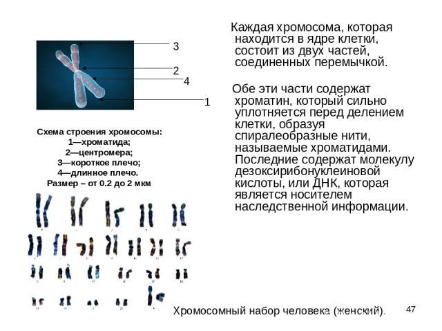 * Каждая хромосома, которая находится в ядре клетки, состоит из двух частей, соединенных перемычкой. Обе эти части содержат хроматин, который сильно уплотняется перед делением клетки, образуя спиралеобразные нити, называемые хроматидами. Пос…