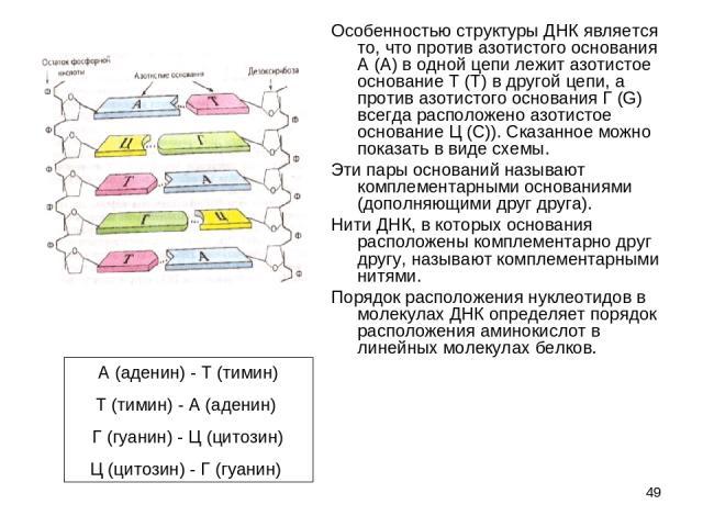 * Особенностью структуры ДНК является то, что против азотистого основания А (А) в одной цепи лежит азотистое основание Т (Т) в другой цепи, а против азотистого основания Г (G) всегда расположено азотистое основание Ц (C)). Сказанное можно показать в…