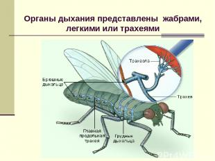 Органы дыхания представлены жабрами, легкими или трахеями