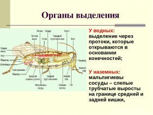 Органы выделения У водных: выделение через протоки, которые открываются в основа
