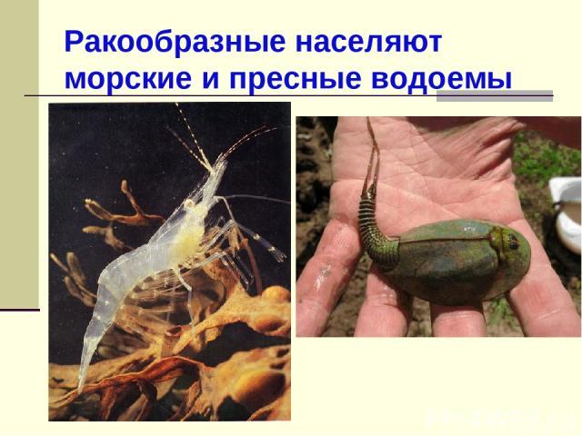 Ракообразные населяют морские и пресные водоемы