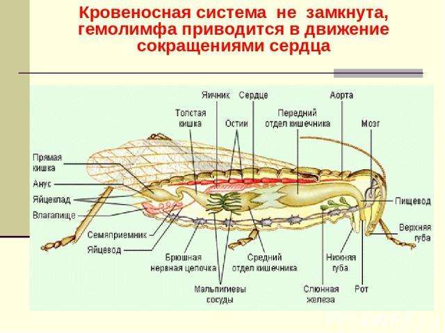 Кровеносная система не замкнута, гемолимфа приводится в движение сокращениями сердца