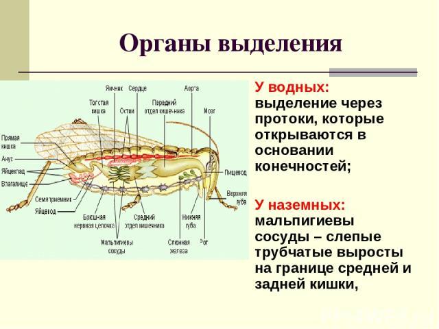 Органы выделения У водных: выделение через протоки, которые открываются в основании конечностей; У наземных: мальпигиевы сосуды – слепые трубчатые выросты на границе средней и задней кишки,