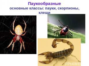 Паукообразные основные классы: пауки, скорпионы, клещи