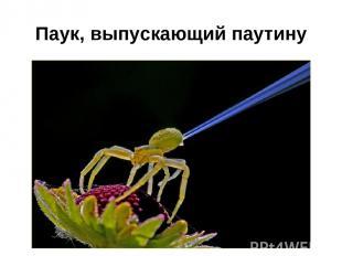 Паук, выпускающий паутину