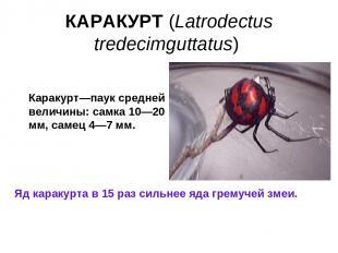 КАРАКУРТ (Latrodectus tredecimguttatus) Яд каракурта в 15 раз сильнее яда гремуч
