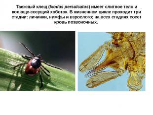 Таежный клещ (Ixodus persulcatus) имеет слитное тело и колюще-сосущий хоботок. В