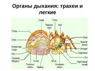 Органы дыхания: трахеи и легкие