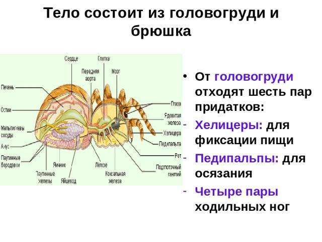 Тело состоит из головогруди и брюшка От головогруди отходят шесть пар придатков: Хелицеры: для фиксации пищи Педипальпы: для осязания Четыре пары ходильных ног
