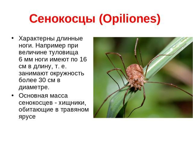 Сенокосцы (Opiliones) Характерны длинные ноги. Например при величине туловища 6 мм ноги имеют по 16 см в длину, т. е. занимают окружность более 30 см в диаметре. Основная масса сенокосцев - хищники, обитающие в травяном ярусе