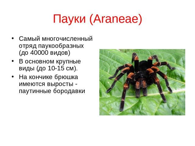 Пауки (Araneae) Самый многочисленный отряд паукообразных (до 40000 видов) В основном крупные виды (до 10-15 см). На кончике брюшка имеются выросты - паутинные бородавки