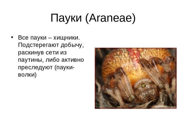 Пауки (Araneae) Все пауки – хищники. Подстерегают добычу, раскинув сети из паутины, либо активно преследуют (пауки-волки)
