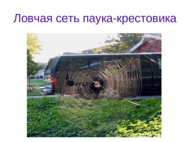Ловчая сеть паука-крестовика