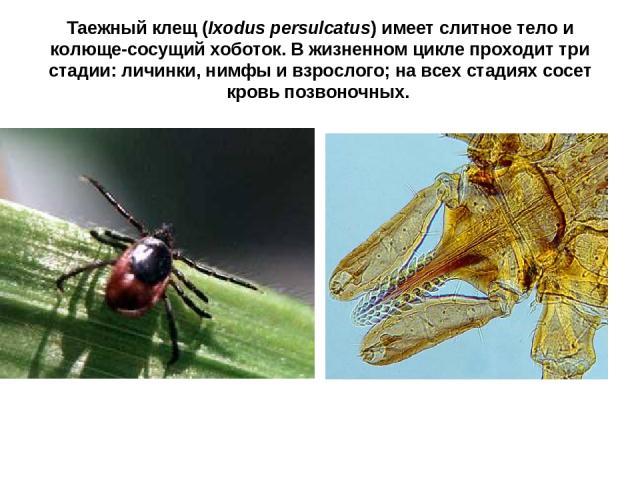 Таежный клещ (Ixodus persulcatus) имеет слитное тело и колюще-сосущий хоботок. В жизненном цикле проходит три стадии: личинки, нимфы и взрослого; на всех стадиях сосет кровь позвоночных.