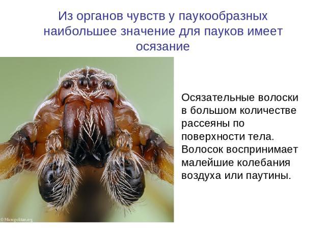 Из органов чувств у паукообразных наибольшее значение для пауков имеет осязание Осязательные волоски в большом количестве рассеяны по поверхности тела. Волосок воспринимает малейшие колебания воздуха или паутины.