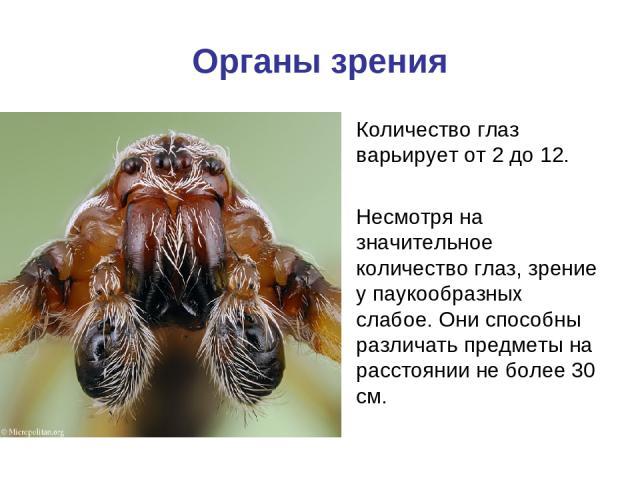Органы зрения Количество глаз варьирует от 2 до 12. Несмотря на значительное количество глаз, зрение у паукообразных слабое. Они способны различать предметы на расстоянии не более 30 см.