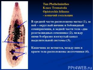Тип Plathelminthes Класс Trematoda Opistorchis felineus - кошачий сосальщик В ср