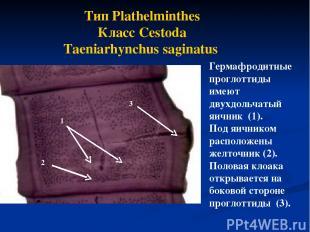 Тип Plathelminthes Класс Cestoda Taeniarhynchus saginatus Гермафродитные проглот