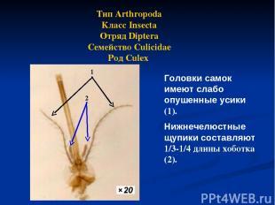 Тип Arthropoda Класс Insecta Отряд Diptera Семейство Culicidae Род Culex Головки