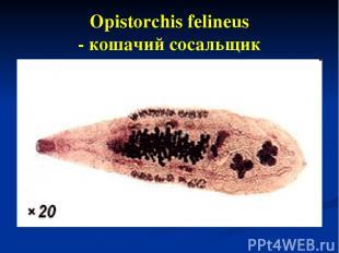 Opistorchis felineus - кошачий сосальщик