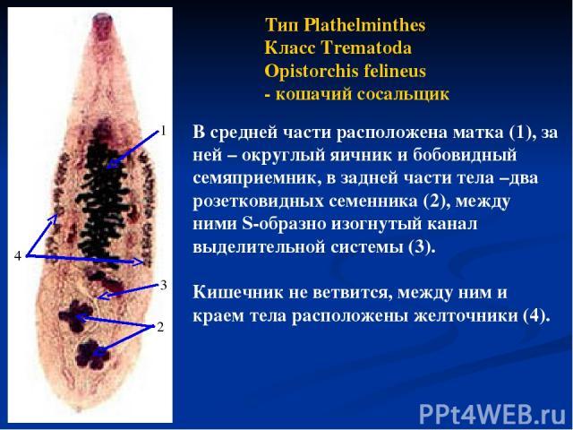 Тип Plathelminthes Класс Trematoda Opistorchis felineus - кошачий сосальщик В средней части расположена матка (1), за ней – округлый яичник и бобовидный семяприемник, в задней части тела –два розетковидных семенника (2), между ними S-образно изогнут…