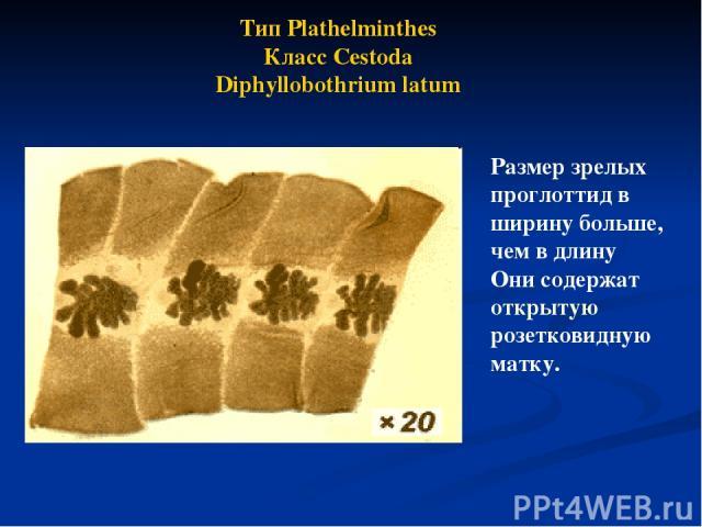Размер зрелых проглоттид в ширину больше, чем в длину Они содержат открытую розетковидную матку. Тип Plathelminthes Класс Cestoda Diphyllobothrium latum