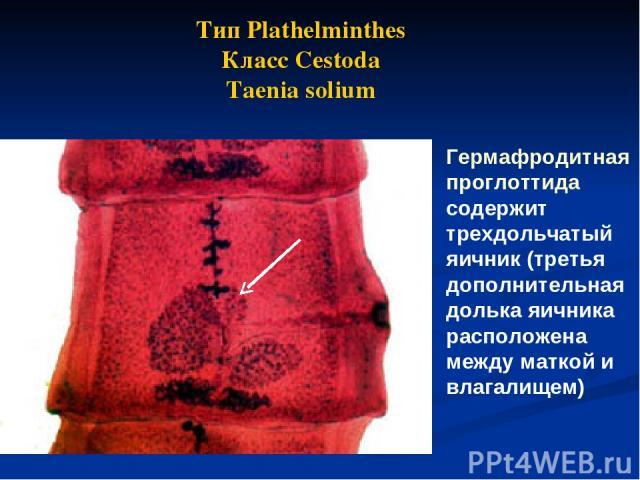 Гермафродитная проглоттида содержит трехдольчатый яичник (третья дополнительная долька яичника расположена между маткой и влагалищем) Тип Plathelminthes Класс Cestoda Taenia solium