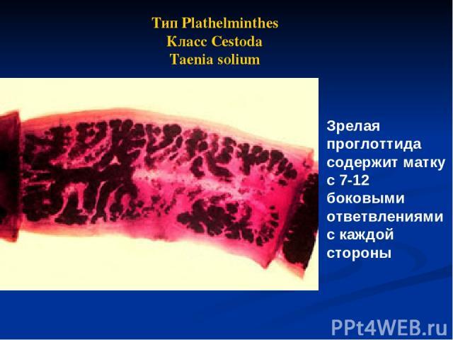 Зрелая проглоттида содержит матку с 7-12 боковыми ответвлениями с каждой стороны Тип Plathelminthes Класс Cestoda Taenia solium