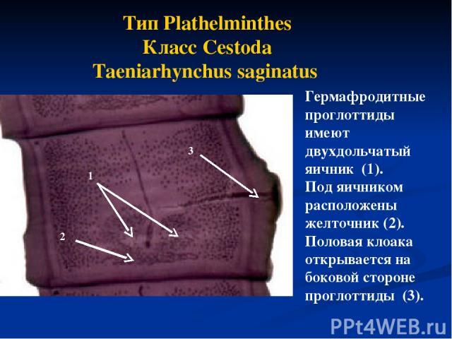 Тип Plathelminthes Класс Cestoda Taeniarhynchus saginatus Гермафродитные проглоттиды имеют двухдольчатый яичник (1). Под яичником расположены желточник (2). Половая клоака открывается на боковой стороне проглоттиды (3). 1 2 3