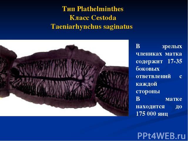 В зрелых члениках матка содержит 17-35 боковых ответвлений с каждой стороны В матке находится до 175 000 яиц Тип Plathelminthes Класс Cestoda Taeniarhynchus saginatus