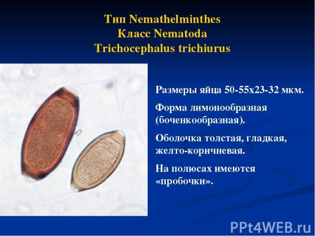 Тип Nemathelminthes Класс Nematoda Trichocephalus trichiurus Размеры яйца 50-55х23-32 мкм. Форма лимонообразная (боченкообразная). Оболочка толстая, гладкая, желто-коричневая. На полюсах имеются «пробочки».